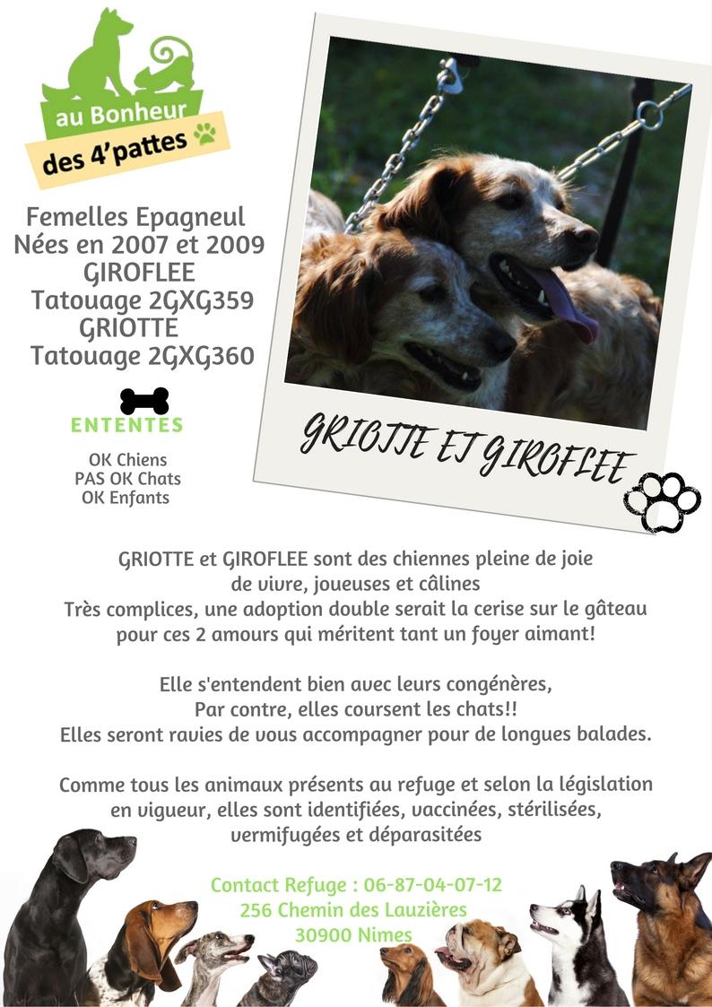 GIROFLEE  -  Epagneul Breton  11 ans et GRIOTTE - Epagneul breton 10 ans  (6 ans de refuge) -  AU BONHEUR DES 4 PATTES  A  NIMES  (30) GRIOTTE-ET-GIROFLEE