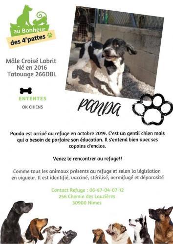 ADOPTÉ-Panda-x-Labrit-né-le-01012016